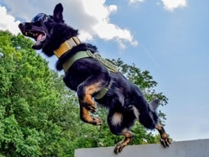 Police K9 for sale, police dogs for sale