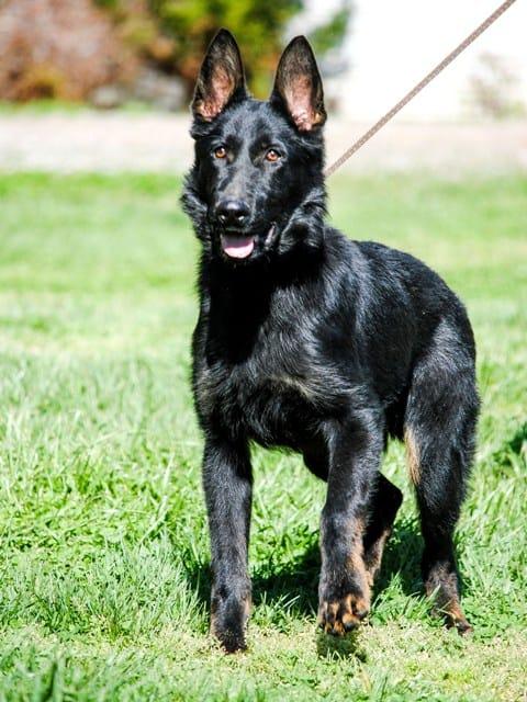 German Shepherd Police Dog For Sale