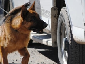 dual purpose police patrol dog