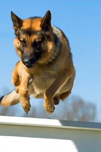 police patrol dog german shepherd