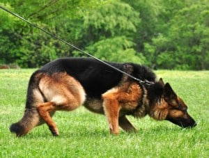 tracking dog german shepherd