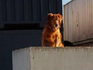 urban search & rescue dog training