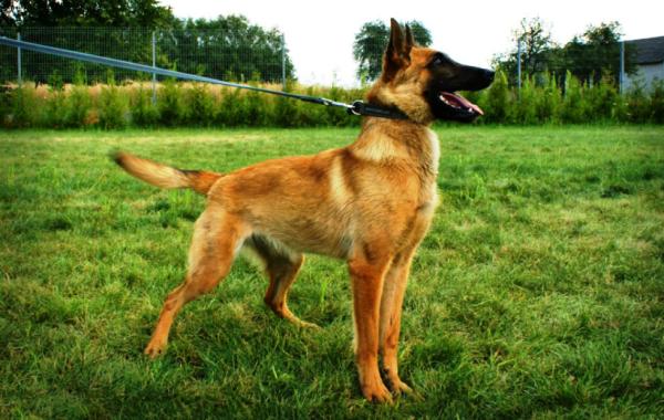 Dasy, Belgian Malinois Police Dog