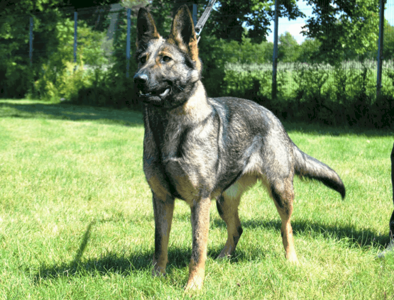 Police Dogs for Sale |Police K9 for Sale, Malinois ...