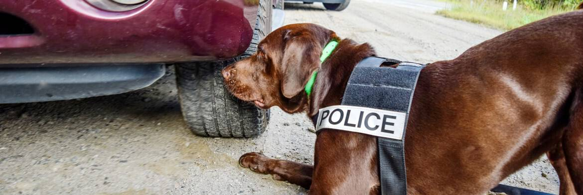 learn to be a detection dog trainer