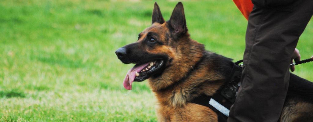 german shepherd police dog