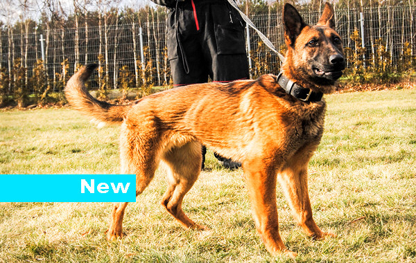 dogs for sale dogs for sale belgian malinois lord pictures lord sold ...