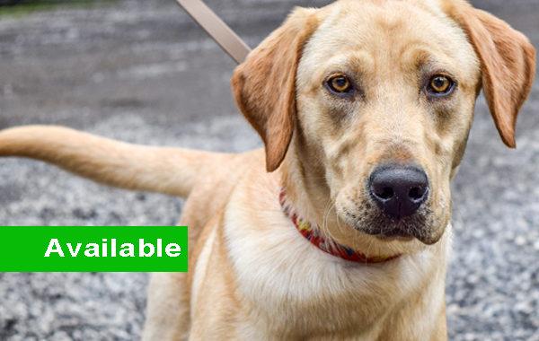 Marty, Labrador Retriever Single Purpose Detection Dog for Sale