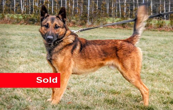 Farmi, Single Purpose Police Dog for Sale