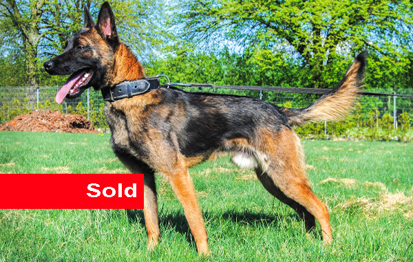 Norus, Dual Purpose Police Dog for Sale
