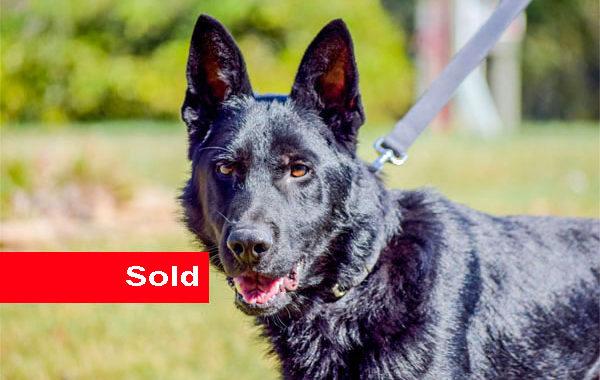 Murzyn, Dual Purpose Police Dog For Sale