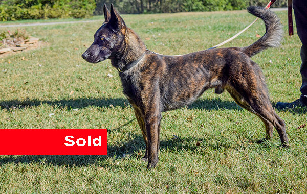 Buster, Dual Purpose Police Dog For Sale