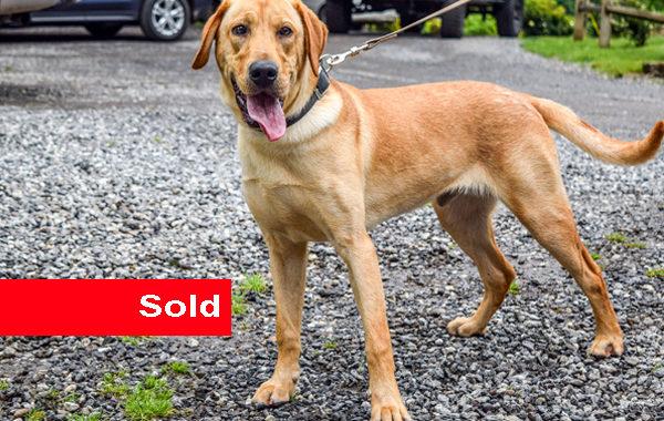 CJ, Labrador Retriever Single Purpose Detection Dog for Sale