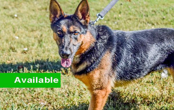 Figa, Dual Purpose Police Dog For Sale