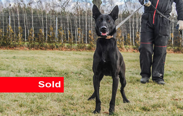 Castle,Belgian Malinois Dual Purpose Dog For Sale