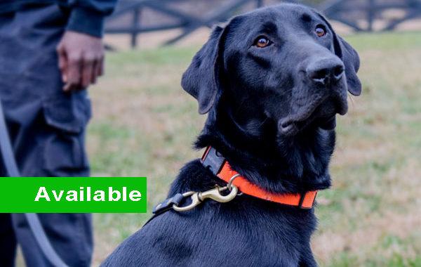 Rascal, Male, Single Purpose, Labrador Retriever