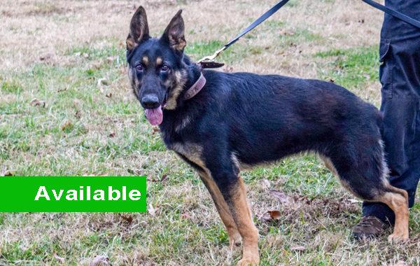 Sam, Female, Single Purpose, German Shepherd