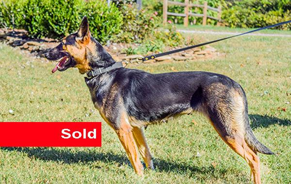 Honda, Single Purpose Police Dog For Sale