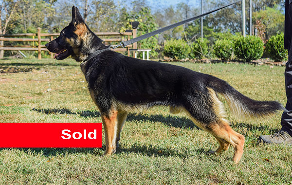 Mlody, Dual Purpose Police Dog For Sale