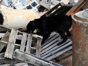 disaster dog training labrador