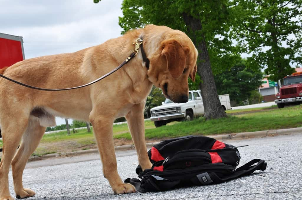 Labrador Retreiver detection dog