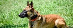 Why Is The Belgian Malinois Used As A Police & Military Working Dog?