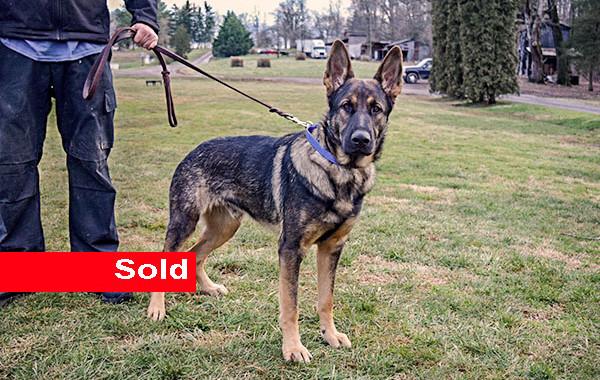 Scar, German Shepherd, Single Purpose Dog for Sale