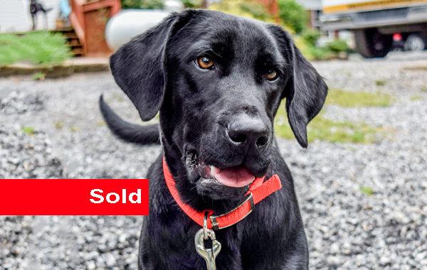 Private, Black Labrador Retriever Detection Dog for Sale