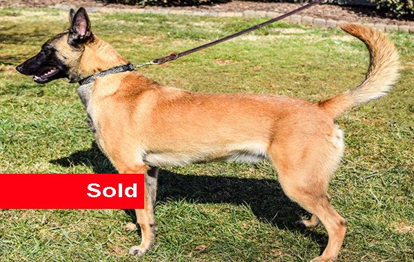 Rylee, Belgian Malinois, Single Purpose Dog for Sale