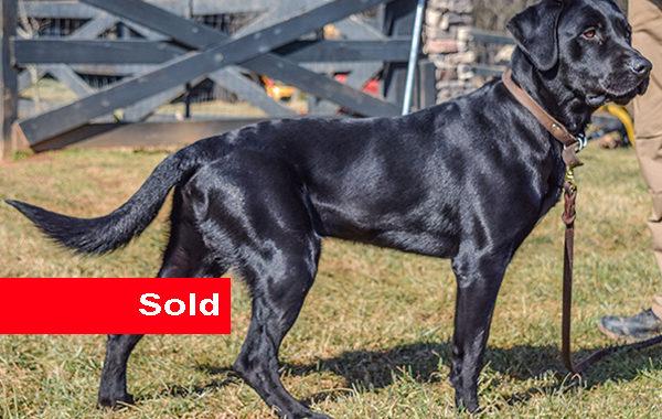 Sampson, Black Labrador Drug Dog for Sale