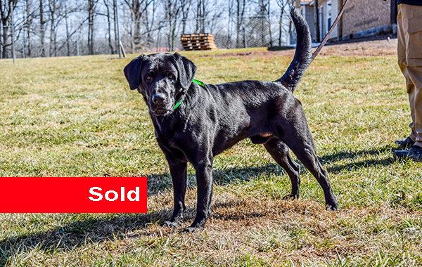 Toby, Black Labrador Drug Dog for Sale