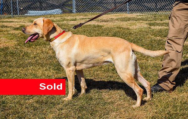Riley, Labrador Single Purpose Dog for Sale