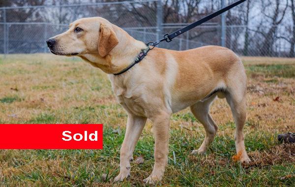 Rebel, Single Purpose Police Dog for Sale
