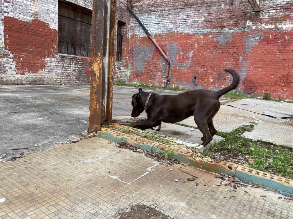 labrador indicating at odor