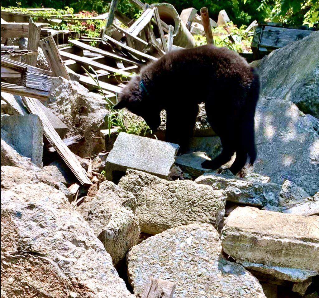 belgian sheepdog on rubble pile sar dog training