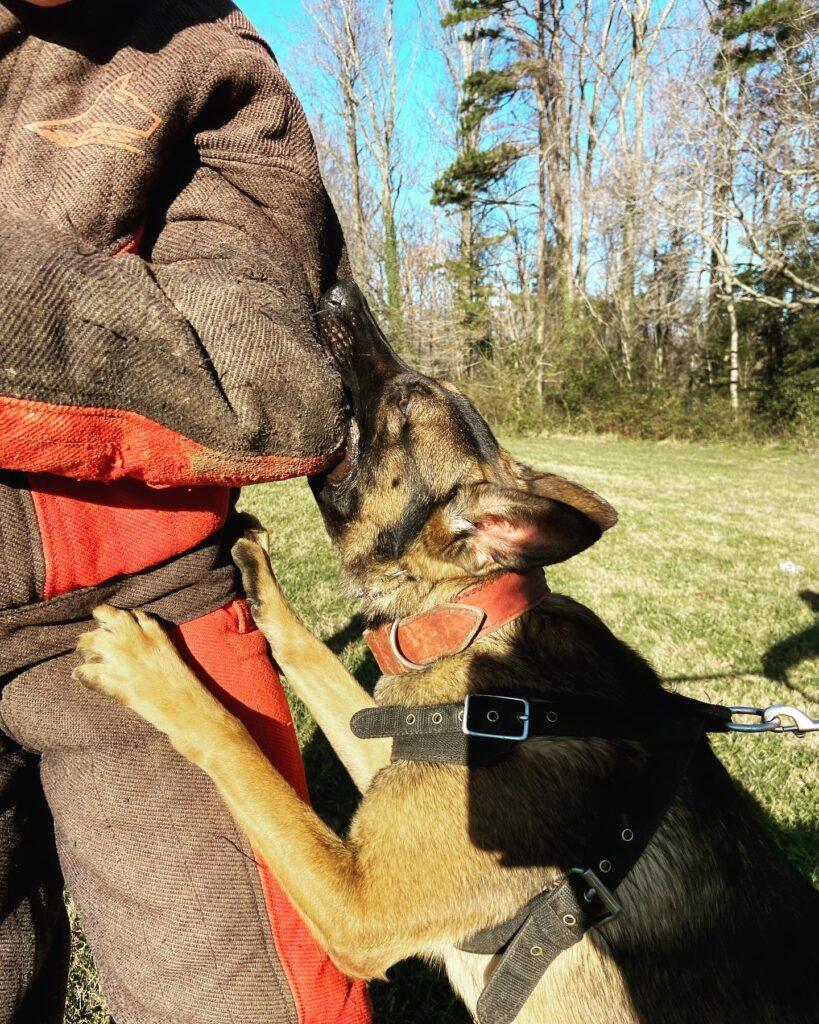 dog building grip during bitework practice