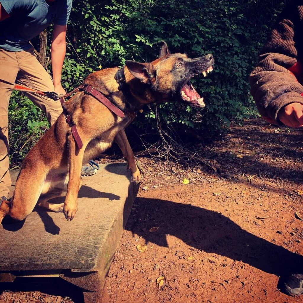 police dog doing bitework practice